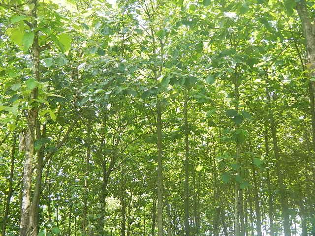 Sriyanto's Trees in Boyolali