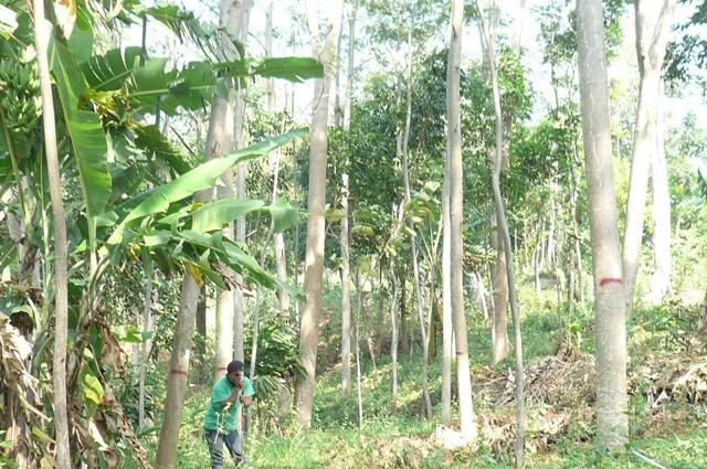 A farmer at Pati measuring trees height to calculate growth and yield