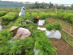 Selection and packing of Sengon at Berkah Lestari farmer group nursery